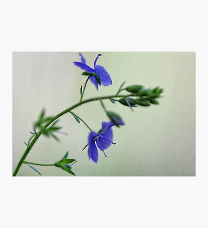 -Georgia Blue Speedwell Photographic Print