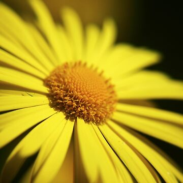 Yellow Doronicum Flower  by InspiraImage