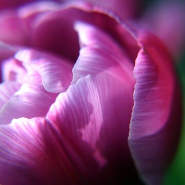 Pink Tulip flower petals by InspiraImage