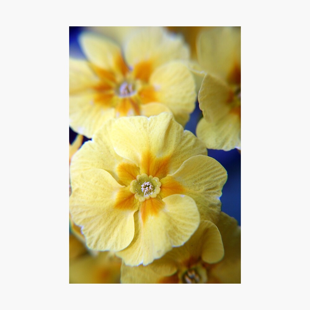 Yellow Primula Flowers Photographic Print