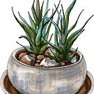 Haworthia succulent plants in a pot by stasia-ch