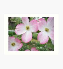 Pink dogwood Tree Blossums Art Print