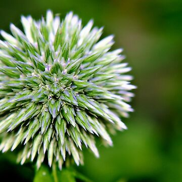 Globe Thistle (Echinops) Seed head by InspiraImage