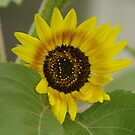 Sunflower - macro by Tracey  Dryka