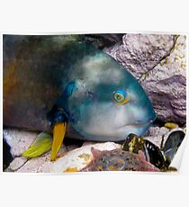 Watching Wrasse Poster