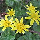 Hedgerow Celandines...Ficaria verna by lezvee