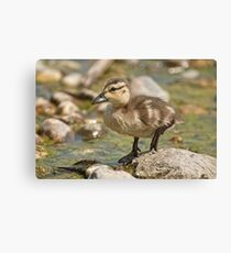 What's Quacking! Canvas Print