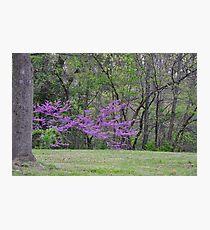 Redbud Tree 4/22/10 Photographic Print