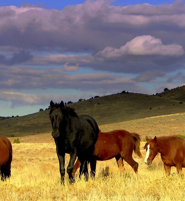 Curious Wild Horse Herd  by Jeanne  Nations