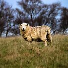 English Sheep by Leon Woods
