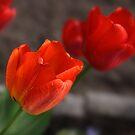 Tulips by DAntas