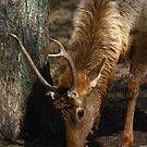 Young Male Elk by Lisa G. Putman