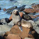 New Zealand Fur Seal by Deirdreb
