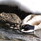 Duck Love by CarrieAnn