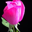 Pink Gentle Bud. by Vitta