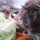 Hansome the guinea pig...thinking of food, as always by JenaHall