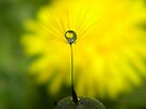 Dandelion Wishes by Shelly Harris