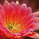 Pink Trichocereus Blossom by Linda Gregory