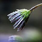 Eisige Blütenblätter von Karen Stahlros