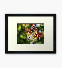 Acer platanoides 'Crimson King' Framed Print