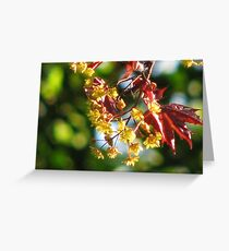Acer platanoides 'Crimson King' Greeting Card