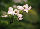 Dogwood Blossoms by Aaron Campbell