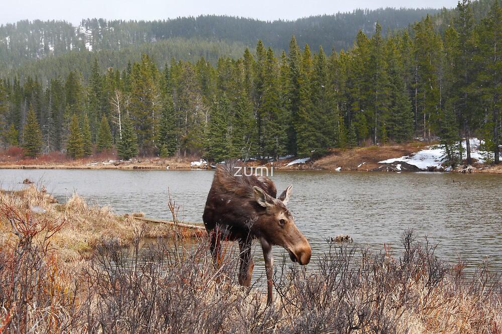 Grazing moose (Alces alces) II by zumi