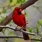 Northern Cardinal by Nancy Barrett