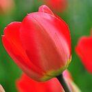 Scarlet Tulip by Nancy Barrett