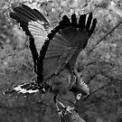 Harrier Hawk by Gili Orr