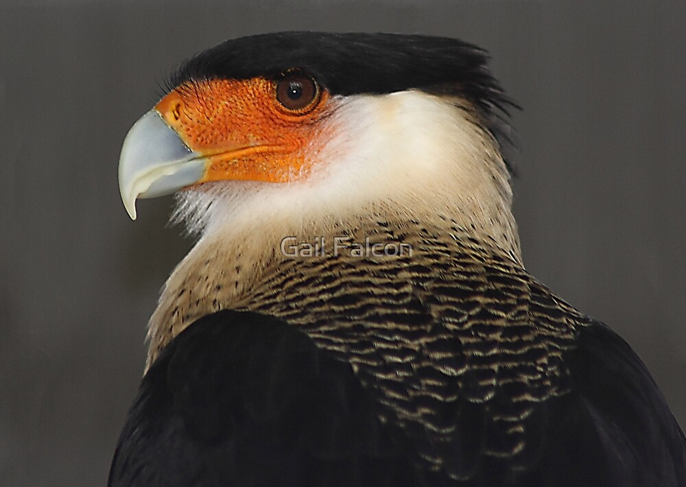 Crested Caracara by Gail Falcon