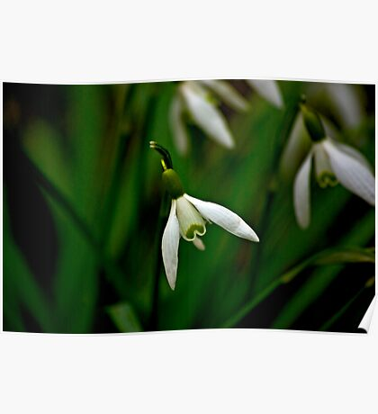 Snowdrop  (Early Spring) Poster