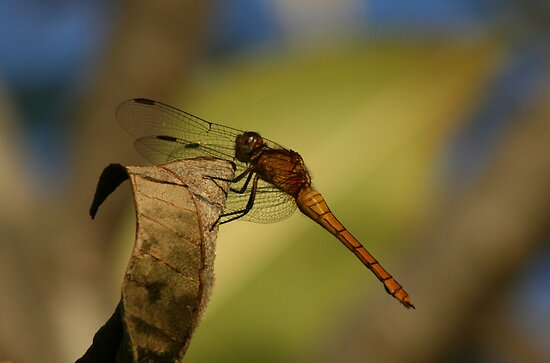 Orange dragonfly by Sea-Change
