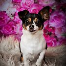 OREO // Chihauhau X Jack Russell by Peggy Colclough