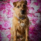 CINDERS // Lakeland X Border Terrier by Peggy Colclough