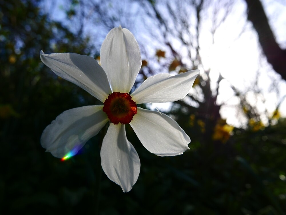 Pheasant's Eye Daffodil (Narcissus poeticus) by IOMWildFlowers