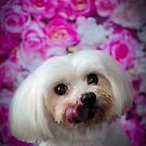 CHARLIE  / Maltese by Peggy Colclough