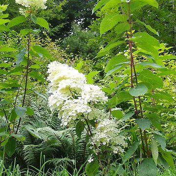 Hydrangea paniculata limelight by lezvee