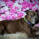 MARLEY // Staffordshire Bull Terrer by Peggy Colclough