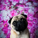 PUGGLES / Pug by Peggy Colclough