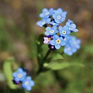 Forget me not by katievphotos