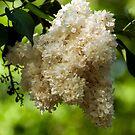 White Lilacs by Monica M. Scanlan