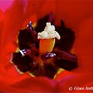 Tulip Red by GraceNotes