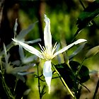 Common White Clematis  (Clematis pubescent Hueg) by DPalmer