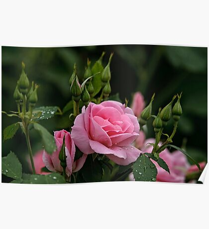 Pink Roses and Buds Poster