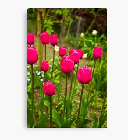 Tulips (Spring-Early May) Canvas Print