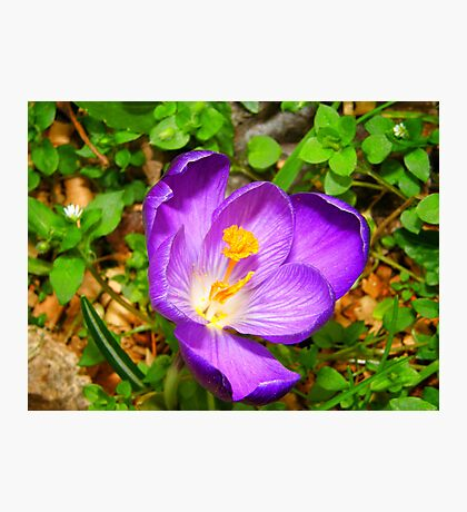 Eye popping Giant Crocus Photographic Print