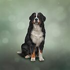 Bernese Mountain Dog. Drawing by bonidog