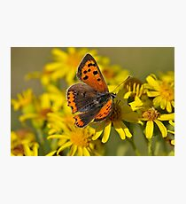 Small Copper Butterfly (Lycaena phlaeas) Photographic Print