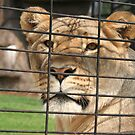 Lioness Looking out of Her Cage by DebbieCHayes